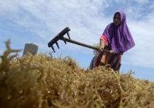 يأتي 85 في المئة من الأعشاب البحرية في العالم من اندونيسيا