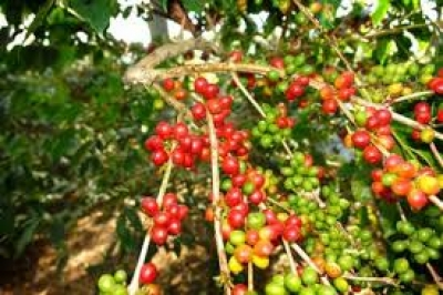Coffee Exporter and Government to Create Short-Term Roadmap to Increase Coffee Productivity
